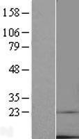 NBL1-17022 - TMEM14C Lysate