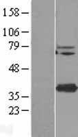 NBL1-17038 - TMEM173 Lysate