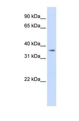 NBP1-59534 - TMEM30B / CDC50B