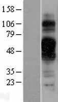 NBL1-17070 - TMEM30B Lysate