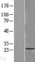 NBL1-17073 - TMEM33 Lysate