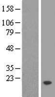 NBL1-17087 - TMEM50B Lysate