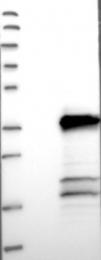 NBP1-82124 - TMEM53