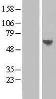NBL1-17092 - TMEM57 Lysate
