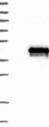 NBP1-83546 - TMEM74