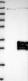 NBP1-80675 - TMEM9