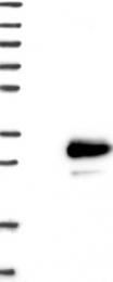 NBP1-84154 - TMEM98