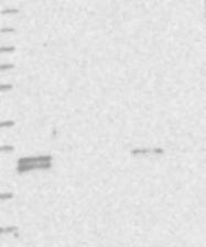 NBP1-88545 - TMEM9B