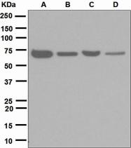NBP1-95663 - CD120b / TNFR2