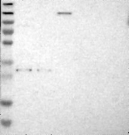 NBP1-88930 - TNFAIP1 / EDP1
