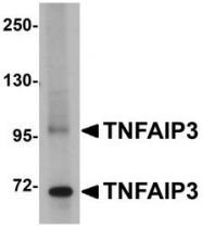 NBP1-77351 - TNFAIP3