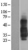 NBL1-17150 - TNFRSF14 Lysate