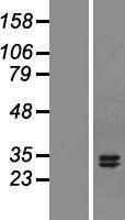 NBL1-17165 - TNFSF13 Lysate