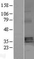 NBL1-17166 - TNFSF13B Lysate