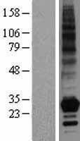 NBL1-17169 - TNFSF4 Lysate