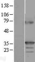 NBL1-17171 - TNFSF9 Lysate