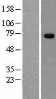 NBL1-17172 - TNIP1 Lysate