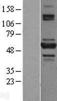 NBL1-17173 - TNIP2 Lysate