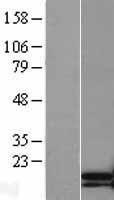 NBL1-17177 - TNNC2 Lysate