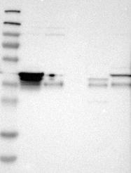 NBP1-91153 - TNRC5 / CNPY3
