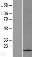 NBL1-17190 - TOMM22 Lysate