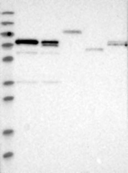 NBP1-89865 - CRTC1 / MECT1