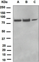 NBP1-95467 - CD110