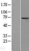 NBL1-17223 - TPP1 Lysate