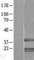 NBL1-15887 - TRA2B Lysate