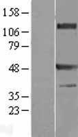 NBL1-17239 - TRAF1 Lysate