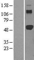 NBL1-17240 - TRAF2 Lysate