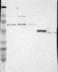 NBP1-86639 - TRAF3 / CRAF1