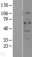 NBL1-17241 - TRAF3 Lysate