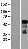 NBL1-17242 - TRAF3 Lysate