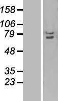 NBL1-17243 - TRAF3IP2 Lysate