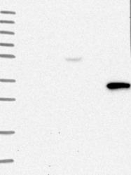NBP1-86974 - TRAF3IP3 / T3JAM