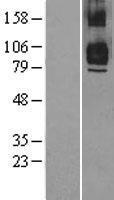 NBL1-17248 - TRAF7 Lysate