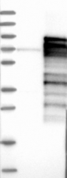 NBP1-81874 - TRAFD1 / FLN29