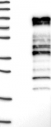 NBP1-81875 - TRAFD1 / FLN29