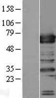 NBL1-17249 - TRAFD1 Lysate