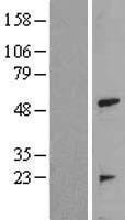 NBL1-17250 - TRAIP Lysate