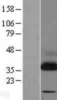 NBL1-16473 - TRAP alpha Lysate