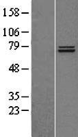 NBL1-17255 - TRAP1 Lysate