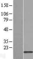 NBL1-17256 - TRAPPC1 Lysate