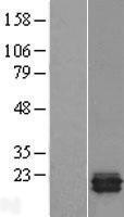 NBL1-17258 - TRAPPC3 Lysate