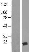 NBL1-17260 - TRAPPC6A Lysate