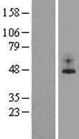 NBL1-12183 - TREK 1 Lysate
