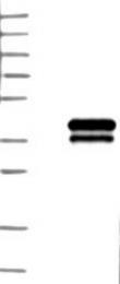NBP1-84235 - TREML1