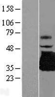 NBL1-17265 - TREML1 Lysate