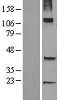 NBL1-17268 - TRHDE Lysate